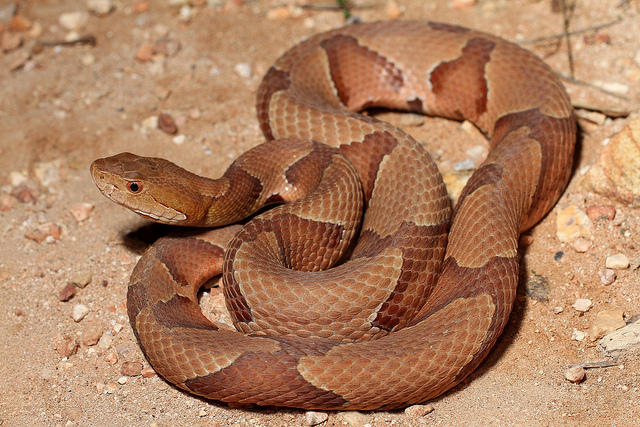 A picture of a copperhead snake.