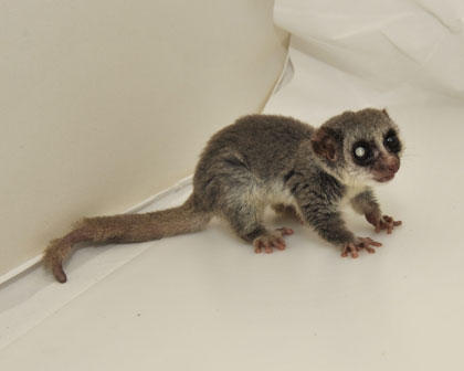 A picture of a fat-tailed dwarf lemur.