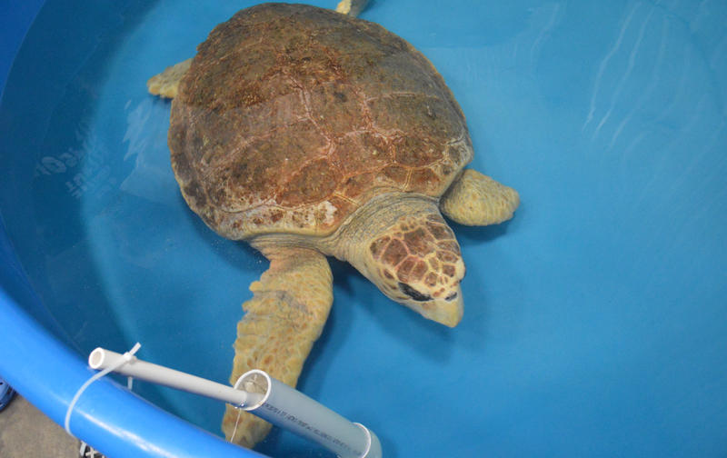October, a loggerhead sea turtle, swimming in a tank at the Karen Beasley Sea Turtle Rescue and Rehabilitaion Center. Both of her front flippers were badly damaged in an accident.