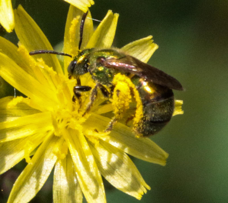 Image of a green sweat bee on hawkweed