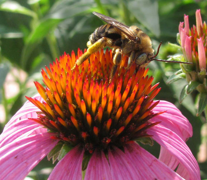 Image of a sunflower bee on a coneflower