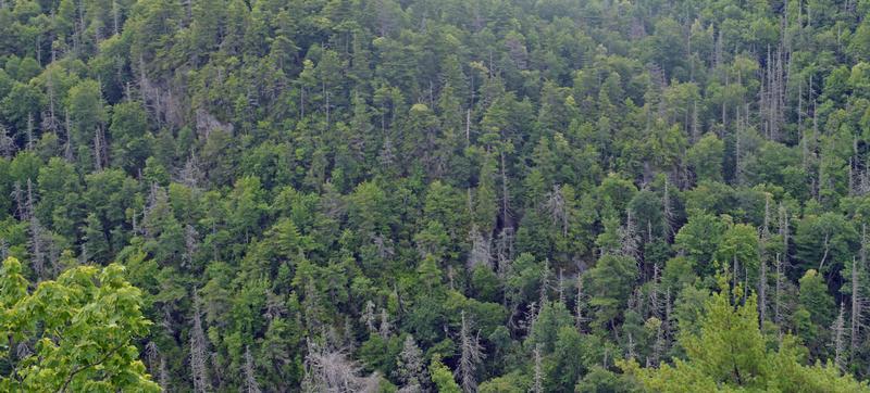Dead hemlocks in Linville Gorge.