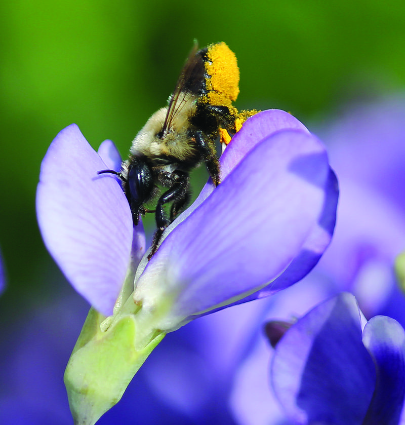 Image of a leafcutter bee on wild indigo
