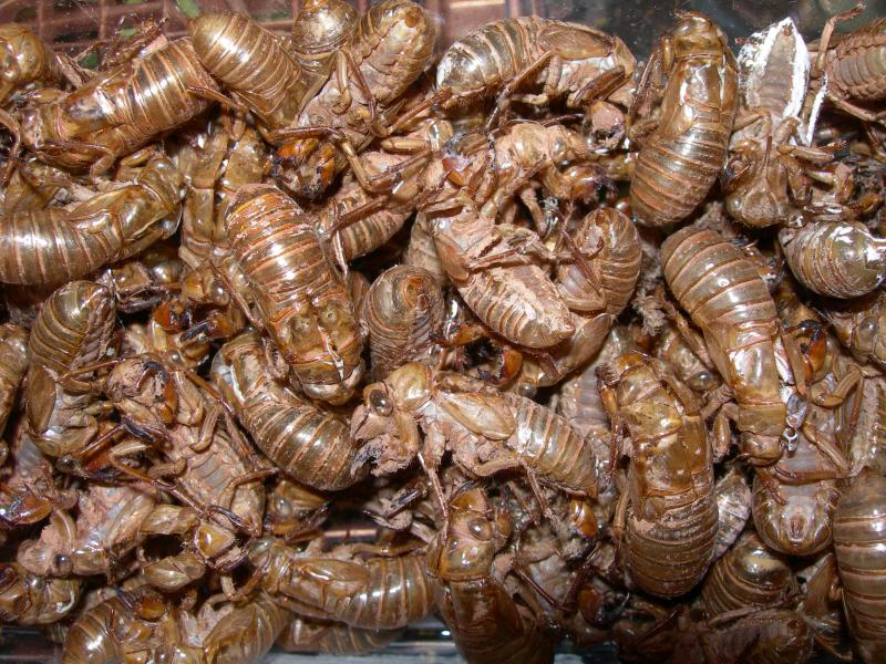 Periodical Cicada Shells
