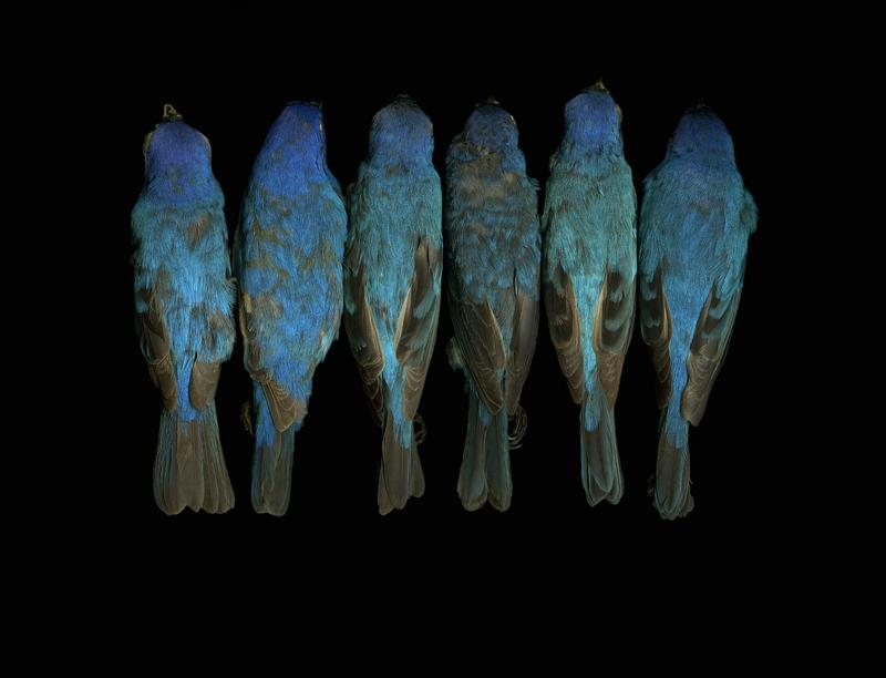 Leah Sobsey scanned birds from the N.C. Museum of Natural Sciences collections. Pictured are indigo bunting (Passerina cyanea) birds.