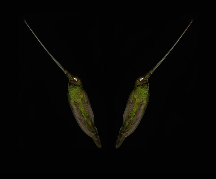 The sword-billed hummingbird (Ensifera ensifera)