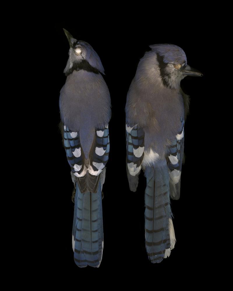 Blue jays (Cyanocitta cristata)