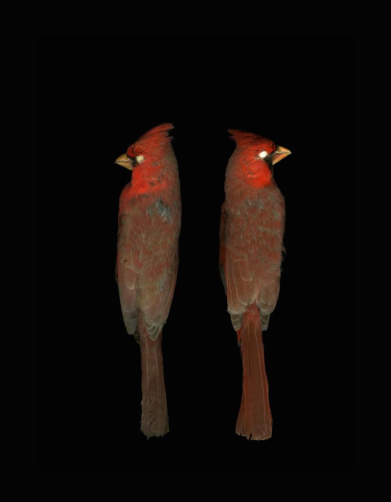 Northern cardinals (Cardinalis cardinalis)
