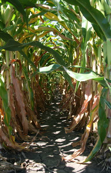 A picture of corn rows.