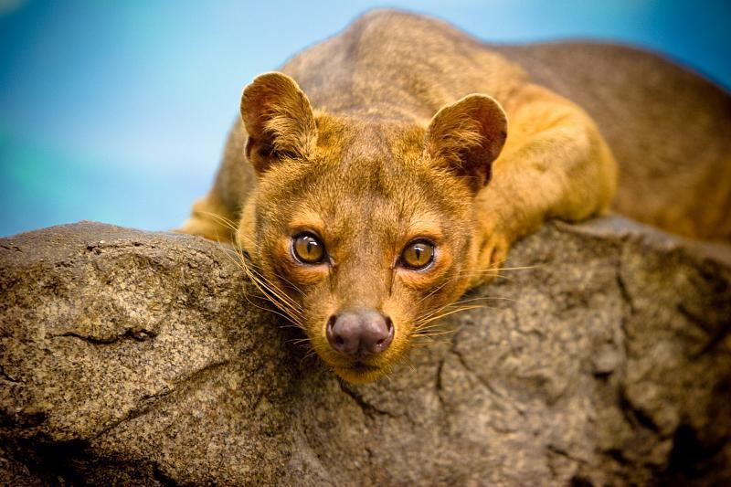 Fosa are the top mammalian predator on Madagascar, and their diet includes lemurs.