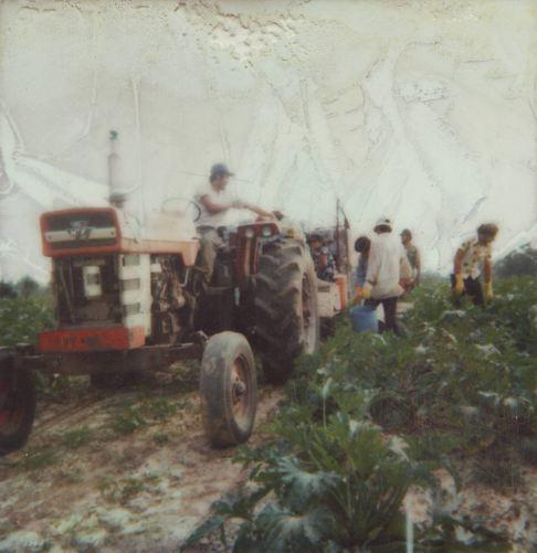 Picking cabbage in Georgia in the 1970s