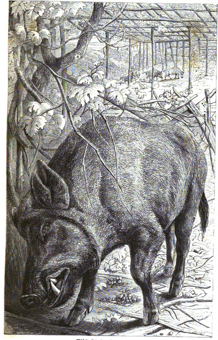 The wild boar emerged in Southeast Asia about four million years ago and then colonized nearly every corner of Eurasia, from mountain to desert to jungle.
