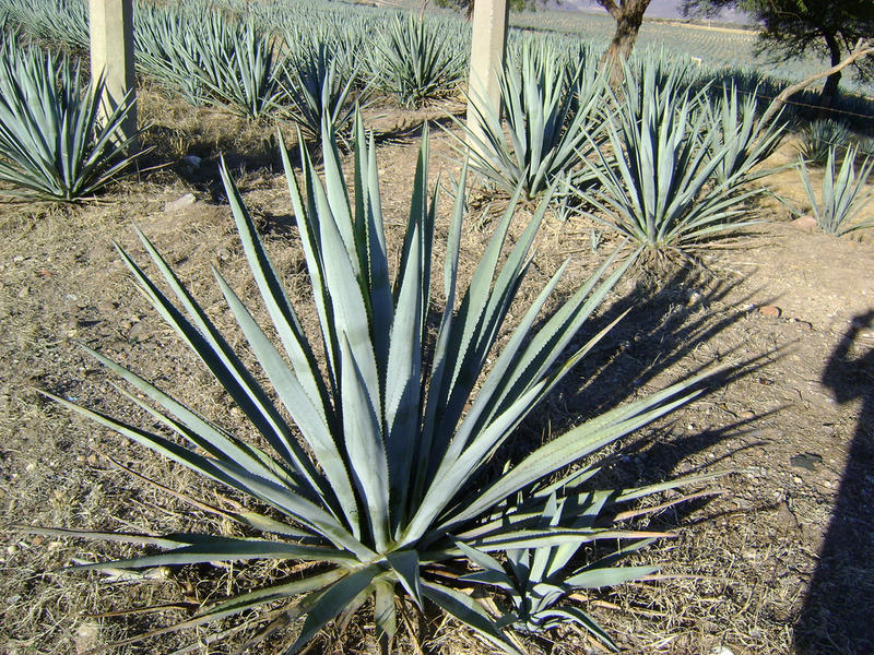 Image of the agave plant, used in tequila production