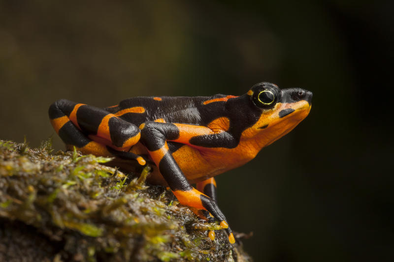 Image of Variable Harlequin Frog