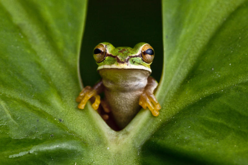 Image of Masked Tree Frog
