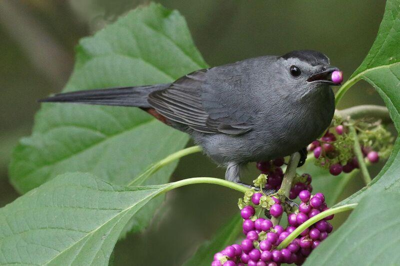 Grey catbird on a beautyberry shrub.