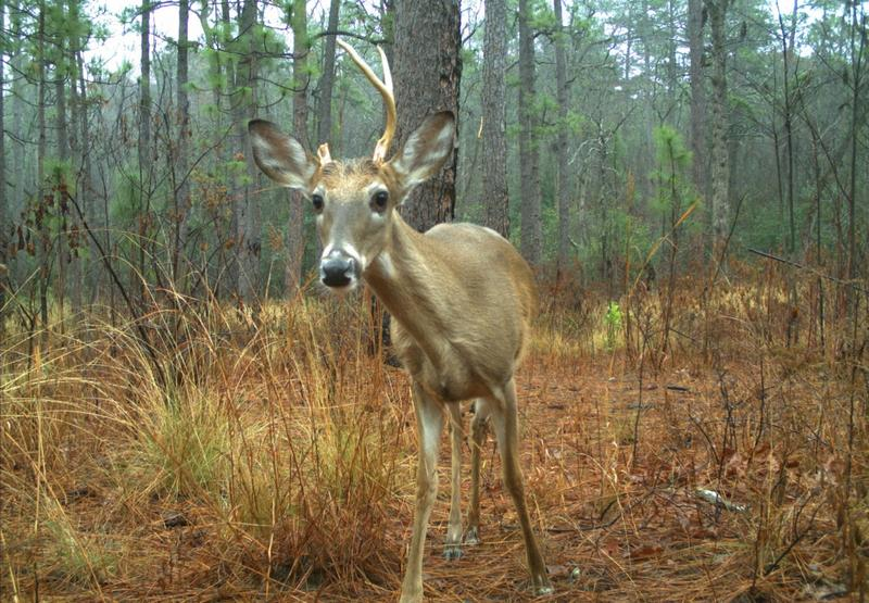 A deer approaches a camera trap, activating the device and resulting in a 'selfie' of sorts