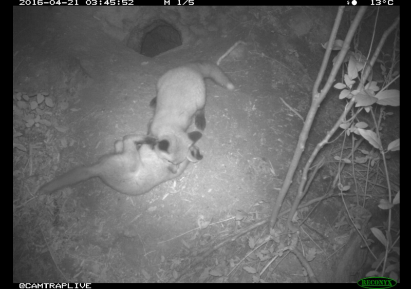 A camera trap in Raleigh captures fox pups at play