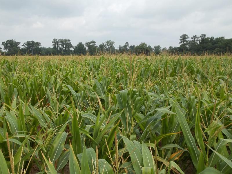 Corn, Agriculture, AgTech Accelerator