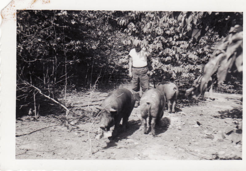 photo of hogs raised by mill villagers