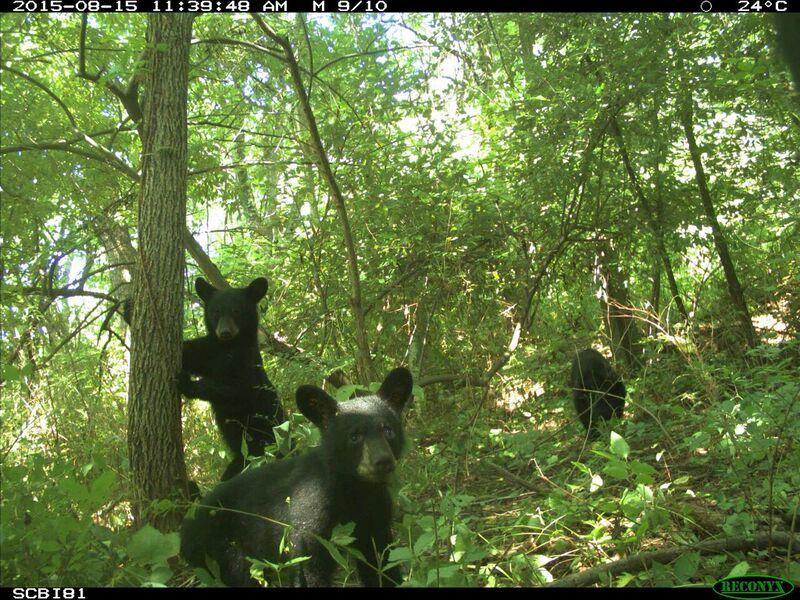 A family of bear cubs photographed in a park near the Smithsonian Conservation Biology Institute, Front Royal, VA.