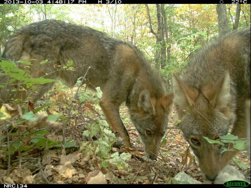 Coyotes sniff the ground in front of a camera trap set by a citizen scientist. Researchers obtained more photographs of coyotes at protected areas that allowed hunting than where hunting was banned, showing the difficulty of reducing coyote populations