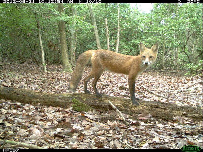 Red foxes were most frequently detected along trails with high-hiker activity, suggesting that they may be using humans as shields against shyer large carnivores like bobcats or coyotes.