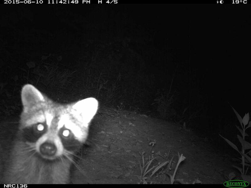 Raccoons were one of the most commonly detected mammal in this camera trap study, being present in all 32 parks surveyed.