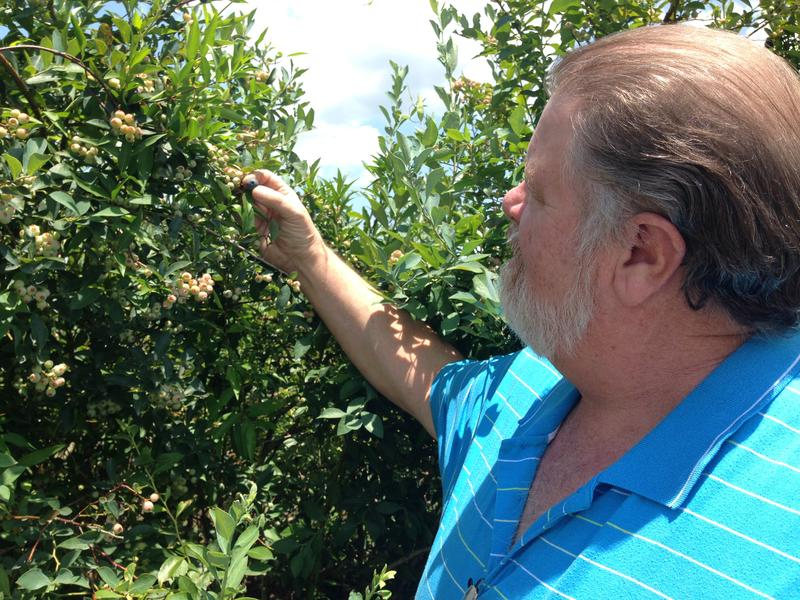 Neal Moore checks on the next batch of blueberry crop to be harvested soon.