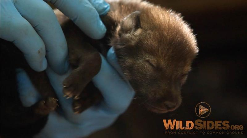 Photo of a red wolf pup