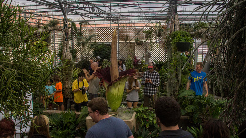 Several different people from inside and outside N.C. State campus came to see the corpse flower blossom over the weekend of September 24, 2016.