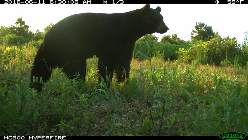 A photo of a black bear captured in Jones county through the North Carolina Candid Critter project.