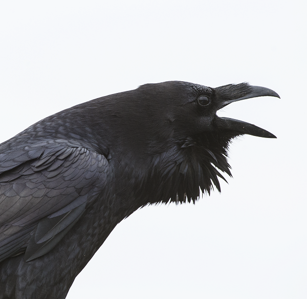 Ravens appear to be capable of empathy. They remember relationships with allies, even after long separations, and will console a mate or ally that is the victim of a conflict.