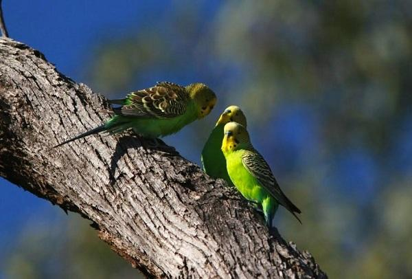 Budgerigar Parakeets are birds that have impressive social smarts.  They cultivate social networks and vie for status, they collaborate, and they teach their young.  They display a strong sense of fairness and give gifts.