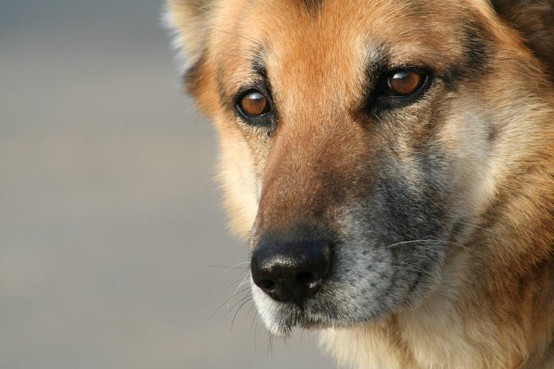 A strain of canine influenza is infecting dogs across North Carolina.