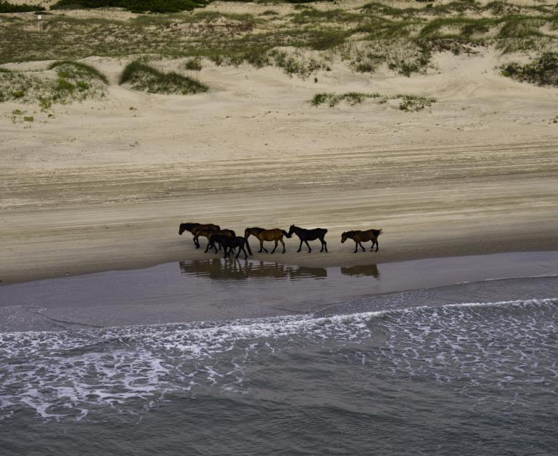 wild horses along Outer Banks