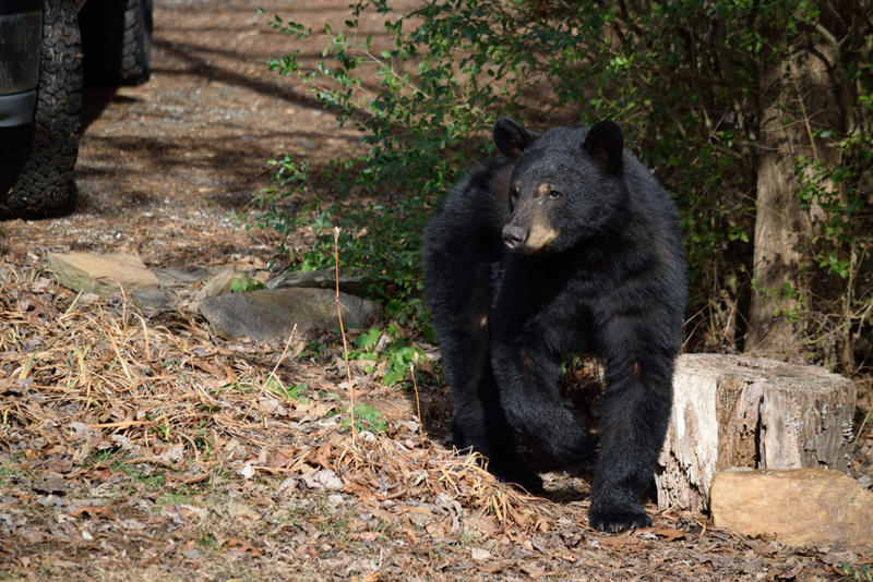 Residential areas in Western North Carolina have seen an increase in bear activity in the past month.