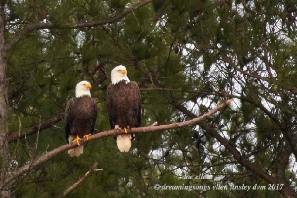 Eagles sitting on branch.