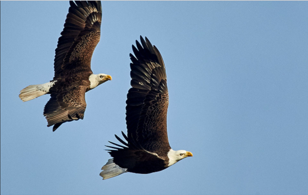 Two eagles flying