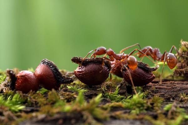 winnow ant