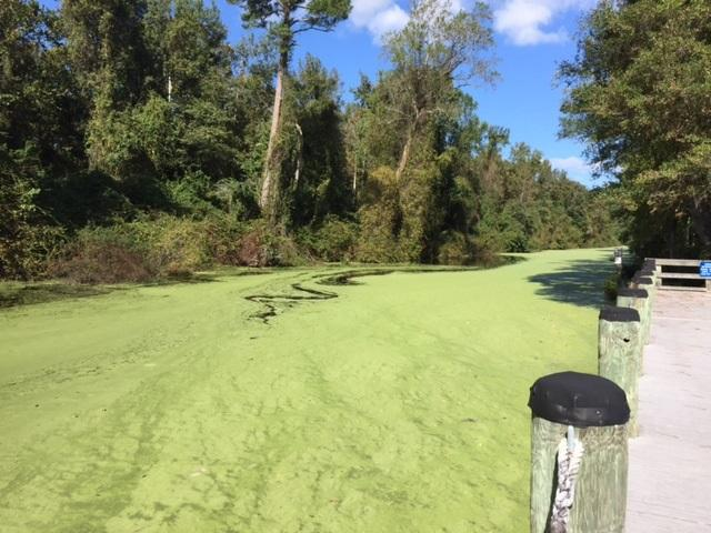 The Dismal Swamp will reopen on 10/31/17 after being closed for more than a year because of damage from Hurricane Matthew. The trees have been cleared, but there's a layer of green duckweed now.