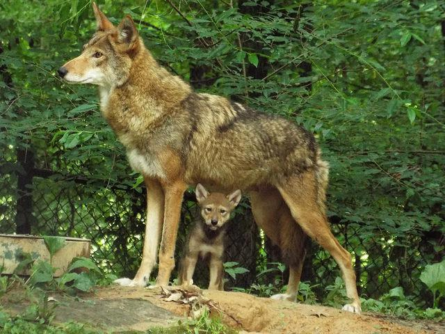red wolf and pup