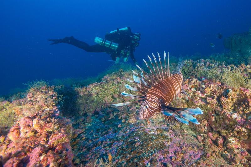 A picture of a diver near a lionfish.
