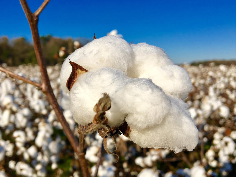 Cotton ready to be harvested in one of David Dunlow's fields in mid-November.