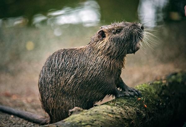 photo of a nutria