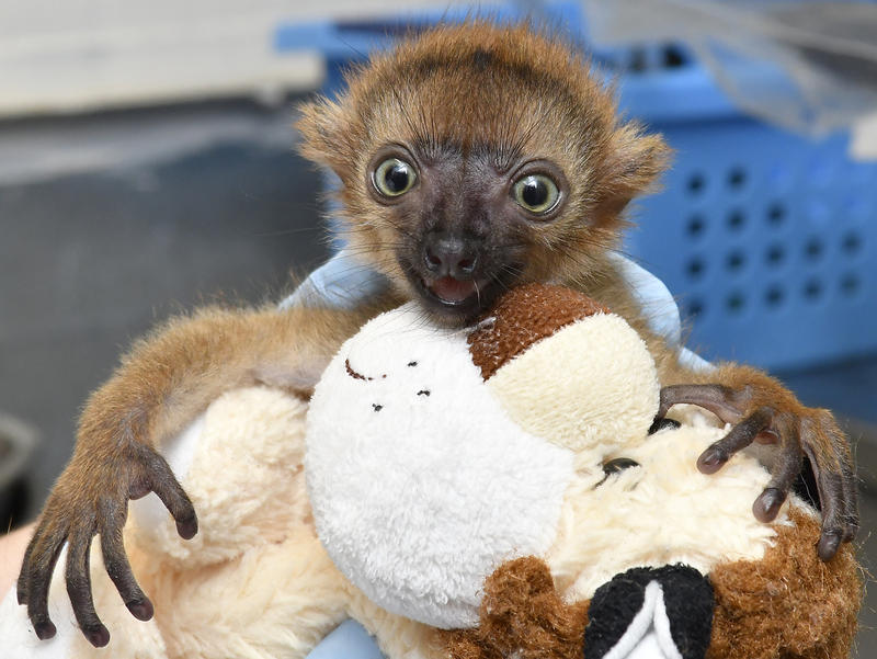 "Ranomasina, the ""extraordinary"" blue-eyed black lemur born at the Duke Lemur Center"