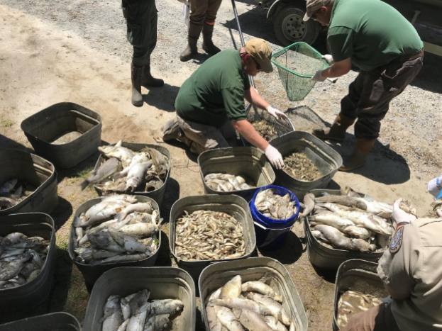 North Carolina Wildlife Resources Commission staff collect and sort dead fish at White Lake, N.C., in May 2018.