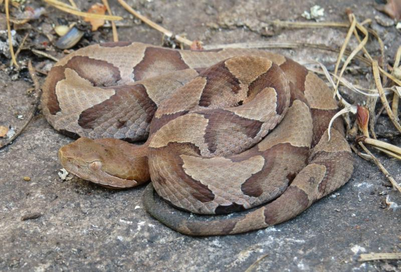 A copperhead snake