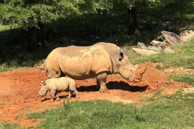 NC Zoo, Rhino, Mammals, Breeding