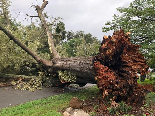 The Town of Hillsborough lost a landmark red oak during Hurricane Florence. It was one of the largest trees in town and thought to be over 200 years old.